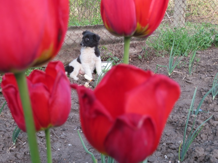 A black and white puppy has her photo taken from an angle behind 4 red tulips.